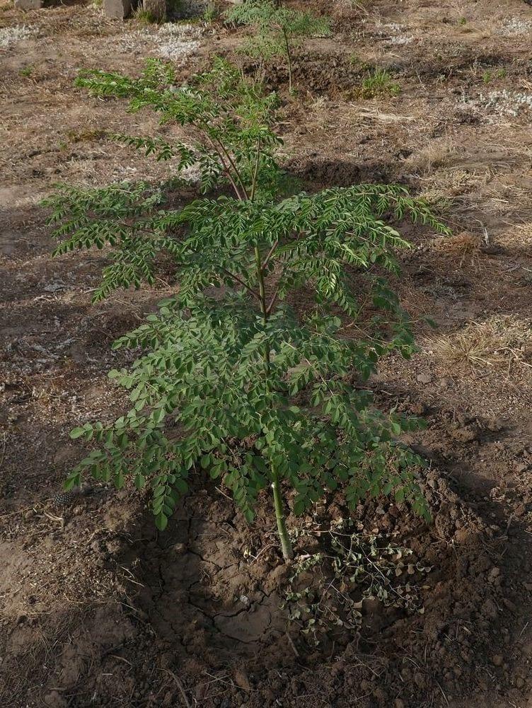 Moringa Baum, in Deutschland auch als Meerrettichbaum bekannt